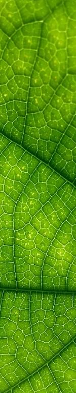 Le détail d'une feuille verte utilisée dans la pratique de la naturopathie.