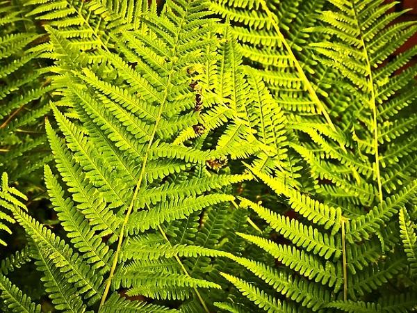 Fougère sauvage aux couleurs verte et jaune. Cette plante est considérée comme une plante anti-pollution, très bénéfique pour avoir chez soi.