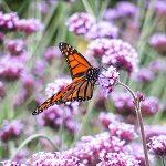 Un papillon aux tonalités marron-clair et noir survole des belles fleurs lilas dans un magnifique champ vert !