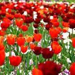 Tulipes rouges dans un champ vert. La nature est magnifique !